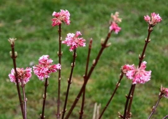 Viburnum Dawn (Viburnum x bodnantense)