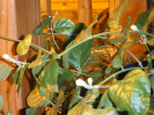 Jasmine Buds under the Banana (Jasminum sambac (Arabian Jasmine))