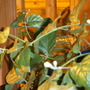 Jasmine Buds under the Banana (Jasminum sambac (Arabian Jasmine))