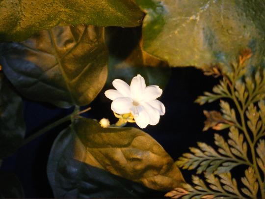 The First Little Jasmine (Jasminum sambac (Arabian Jasmine))