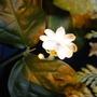 Jasmine (Jasminum sambac (Arabian Jasmine))