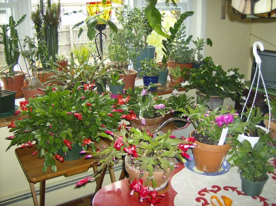 Kitchen Bay Window & Christmas Cactus