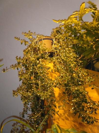 Loft Banister (Nematanthus gregarius)