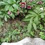 Babies of Helleborus orientalis (Helleborus orientalis)