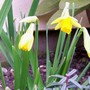 My first little daffs.. (narcissus)