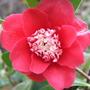 Camellia japonica - Bokuhan (Camellia japonica - Bokuhan)