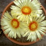 Don´t knw the name of this cactus,not my field!!!but the flowers are stupendous