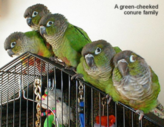 Green Cheek Conure Family