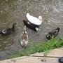 Duckys Ducks