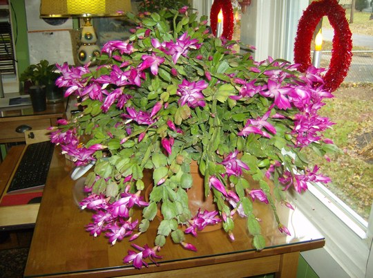 Favorite Christmas cactus - Jolly Dancer