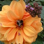 Dahlia and a bumble Bee