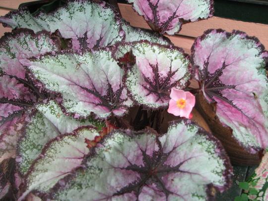 Rex is flowering. (Rex Begonia)