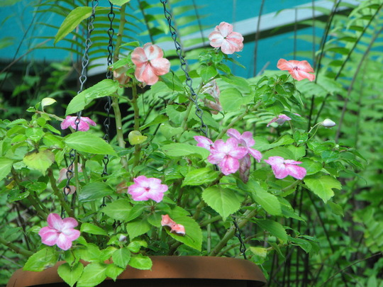 Impatiens are flowering. (Impatiens walleriana (Busy Lizzie))