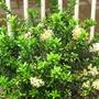 Ixoras are flowering.