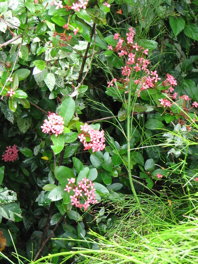 Ixora flowering.