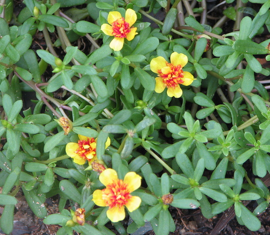Portulacas are flowering. (Portulaca grandiflora (Double Rose Moss))