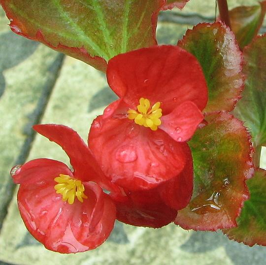 Wax begonias are flowering. (Begonia semperflorens-cultorum)