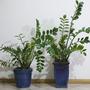 Zamioculcas zamiifolia. (Zamioculcas zamiifolia.)