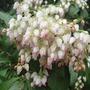 Pieris Japonica (Pieris japonica (Lily of the valley bush))