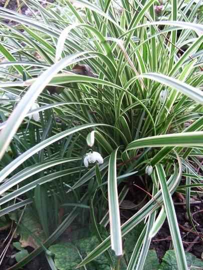 Carex 'Ice Dance' and friends. (Carex morrowii 'Ice Dance')