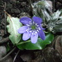 Hepatica nobilis (Hepatica nobilis)