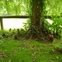 Salix Babylonica (Salix babylonica (weeping willow))