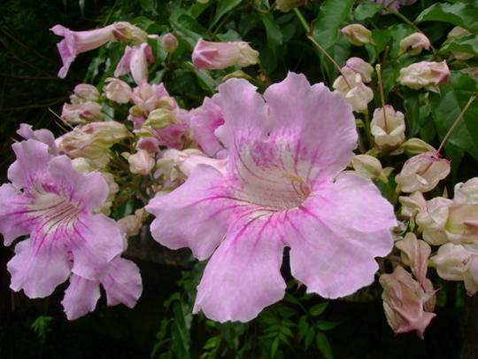 Pink trumpet (Podranea ricasoliana)