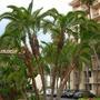 Phoenix reclinata - Senegal Date Palm at Hilton SD Resort. (Phoenix reclinata - Senegal Date Palm)