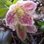 Winter Flowering Clematis