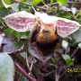 Fuzzy,Furry Bee On Winter Flowering Clematis
