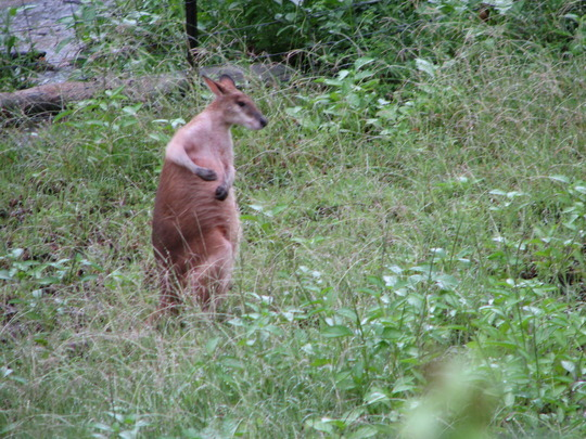 One lone wallaby was out and about today.