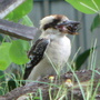 Saw this kookaburra today feasting on a rhinoceros beetle.