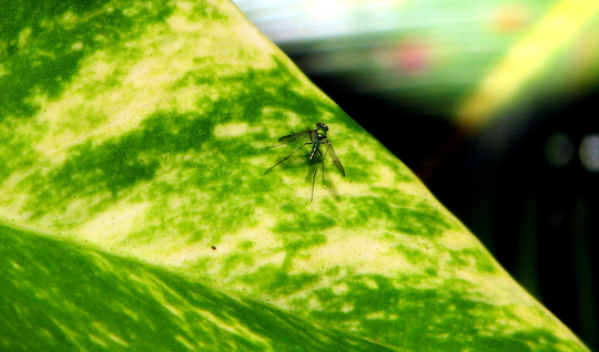 Spotted fluroescent little fly on the philodendron.