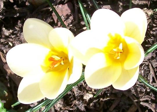 Cream Crocus (Crocus chrysanthus (Crocus))