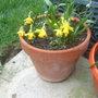 pots of daffs