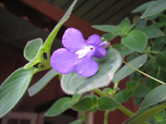 Streptocarpus caulescens - Nodding Violet (Streptocarpus caulescens)