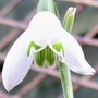 Another Snowdrop.... (Galanthus nivalis)