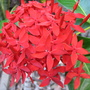Ixora coccinea (Ixora coccinea (Flame of the Wood))