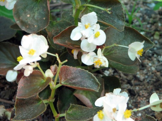 Corners of the greenhouse 19 (Begonia semperflorens-cultorum)
