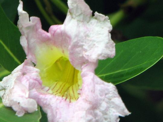 Flower of Pink Trumpet Tree - Tabebuia heterophylla (Tabebuia heterophylla)