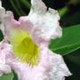 Tabebuia_heterophylla_pink_trumpet_tree