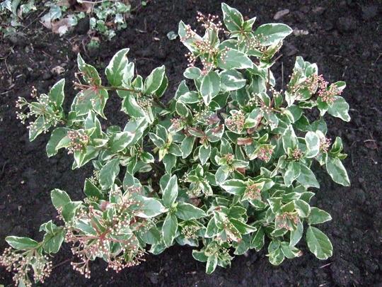 Viburnum tinus 'Variegatum' (Viburnum tinus 'Variegatum')