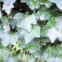 Climbing plant .1.2. (Hedera helix (English ivy))