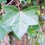 Climbing plant .1.3. (Hedera helix (English ivy))