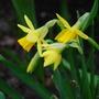 tete a tete   mini daffodils