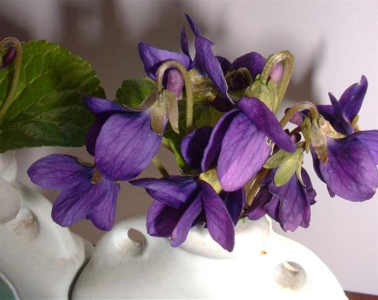 English Violet (Viola Odorata)