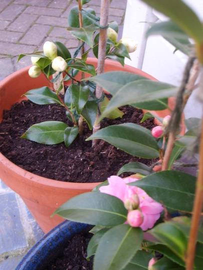 Camellia - creamy yellow