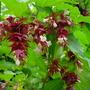 pheasant berry (Leycesteria formosa)