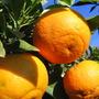 Abundance of Seville oranges