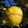 Lemons in the orchard